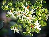 #4: Siam Garden Live Coral Jasmine Plant Night Flowering Parijat Plant