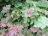 50 Stück Heckenpflanzen Feldahorn (acer campestre) Wurzelware 80-120 cm