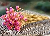 Arpoador - Fiori secchi, per arredo scenico, 50 pezzi Rose Red