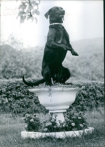 vintage-photo-of-1978-dog-standing-on-hind-legs-in-flower-pot-in-a-garden