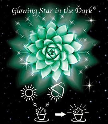 BALDUR-Garten Glowing Star in the Dark®, Echeveria 1 Pflanze von Baldur-Garten auf Du und dein Garten