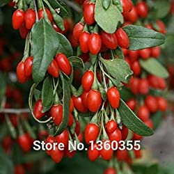 Generic 150 Goji Berry Seeds Chinese Ning Xia Goji Berries Wolfberry Seed Health Benefit Medlar Goji Berry Lycii Seed