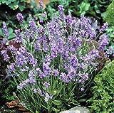 Pinkdose 300pcs Lavendel Schöne und romantische Blumentöpfe Pflanzblumengarten Freies Verschiffen: 6