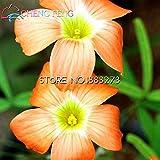 50pcs Oxalis versicolor Blumensamen Seltene Blumen für Garten-Ausgangspflanz Jardin Flores Dekoration Topf Plante *
