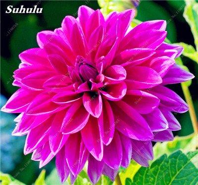 100 Pcs Dahlia chinois Charme Graines de fleurs Bonsai Fleurs Dahlia lumineux mixte Pivoine jardin chinois Décor Plantes 8 Potted