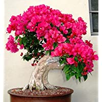 Fash Lady 200pcs 100% Original Mix-Color Bougainvillea spectabilis Willd Seeding Flor de la Planta de Bonsai: 200