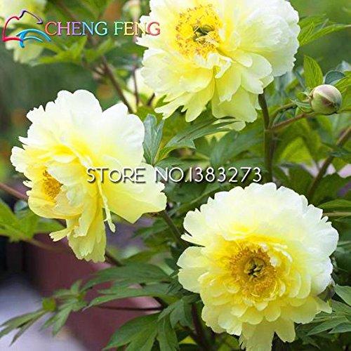 Zoom IMG-1 2016 cinese peonia albero seeds