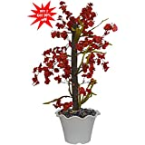 Fancy Mart Artificial Tree Orchids (Size 2.5 Ft/30 Inchs/ 76 cms) Without Pot-1270