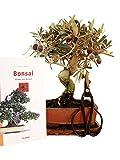 Anfänger Bonsaiset Olive