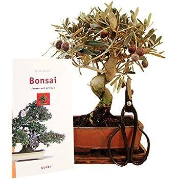 Bonsai Geschenkset Anfänger Sparset Olive immergrün vierteilig ca. 10 Jahre alt ca. 34 cm hoch (Abb. ähnlich)