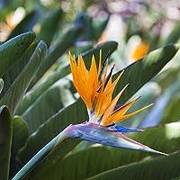Planta de Strelitzia, de «ave del Paraíso»