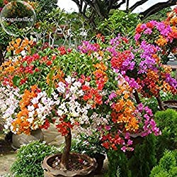 2018Hot Sale New mix-color Bougainvillea Santa Rita Bonsai Blumen, 5Samen, buganvilla Bugambilia attraktives Butterfly Light Up Your Garden