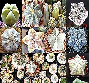um Hybriden Kaktus Sukkulenten Samen - Sand-Dollar-Kaktus, Seeigel Cactus - sehr wünschenswert & Begehrte - wunderschöne Muster und Markierungen - frische Samen - Durch MySeed ()