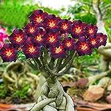 SAGEAWAY RARA RARA Brown Negro Adenium Rosa del Desierto con el Fuego Flor corazón Rojo, Bonsai, Flores pétalos Individuales,