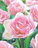 Gefüllte Tulpen Angelique Blumenzwiebeln Tulpenzwiebeln (20 Blumenzwiebeln)