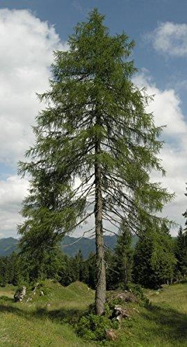 Baum des Jahres 2012 - Europäische Lärche im Container Größe 30 bis 40 cm
