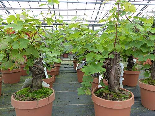 Mini-Bonsai knorrige Weinrebe Weinstock Weintraube, Vitis Vinifera \'Italia\' 18