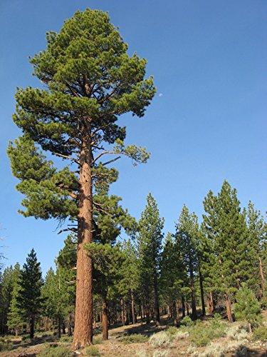 Mocopinus JEFFREYI Jeffrey Kiefer Baum Samen. (Jeffrey Tree Pine)