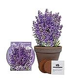 Lavendel Aufzuchtset | Einzigartiges Basalt Lavendel Zuchtset | Lavendel Samen für innen oder außen | Sehr einfach mit ausführlichen Anweisungen für Anfänger und Experten