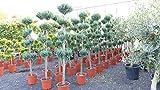 Pon Pon 180 cm Formgehölz Scheinzypresse 'Columnaris' Zypresse, 5-8 Pon Pon's, Gartenbonsai für Pon Pon 180 cm Formgehölz Scheinzypresse 'Columnaris' Zypresse, 5-8 Pon Pon's, Gartenbonsai