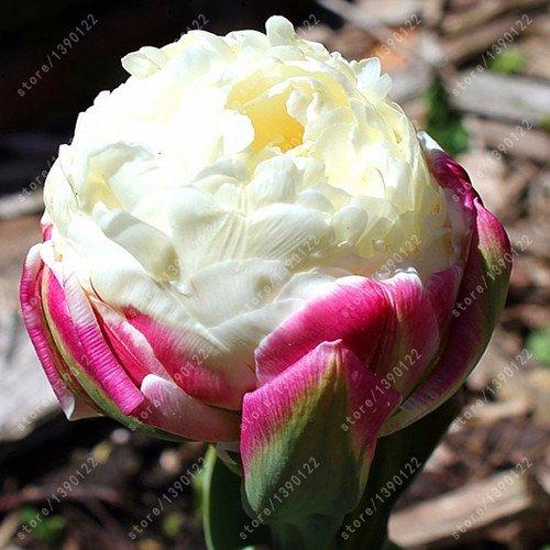 bulbos-de-tulipan-verdaderos-no-tulipan-semillas-de-crema-de-hielo-bulbos-de-flores-bonsai-como-bell