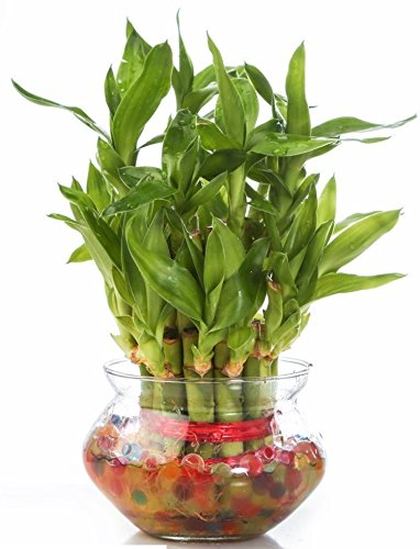 Green Ivy Lucky Bamboo Indoor Plant 2 Layer with Round glass pot (Handi Bowl)  available at amazon for Rs.289
