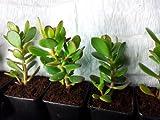 Crassula ovata. Jade planta, árbol, planta de suerte amistad o dinero planta suculenta. Saludable un regalo perfecto
