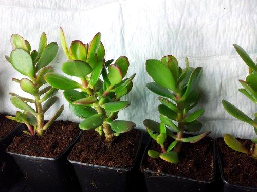 crassula-ovata-jade-plante-arbre-damitie-lucky-ou-argent-plante-succulente-saine-un-cadeau-ideal