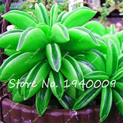 Plentree Samen Paket: 100Pcs Amazon Seltene Bonsai Garden Diy Blumentopf Bonsai Sementes Indoor s SeedsFlower Startseite s Saftige zum Verkauf: 2