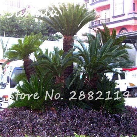 2: semi di cycas 20 pz/borsa revoluta semi di semi di fiori in vaso semi di alberi bonsai per giardino bonsai piante facili da coltivare