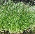 Wasserflora Langes Zyperngras / Cyperus longus im 9x9 cm Topf von wasserflora - Du und dein Garten
