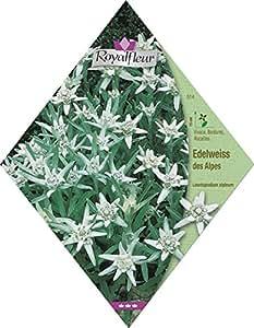 Royalfleur PFRV00514 Graines de Edelweiss des Alpes