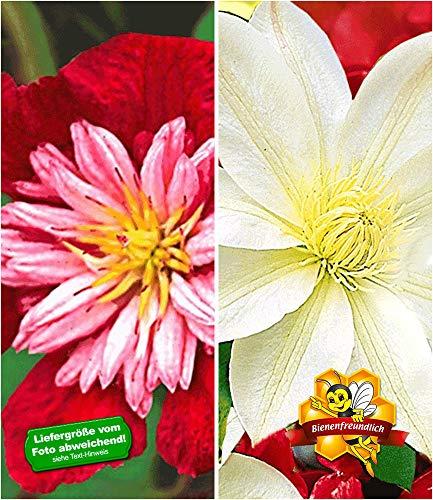 BALDUR-Garten Klematis-Sortiment \'Avant Garde TM\' und \'Madame Le Coultre\' rot und weiß winterhart, 2 Pflanzen Clematis mehrjährige blühende Kletterpflanzen