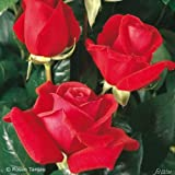 Edelrose Duftwolke in Rot - Duftrose winterhart - Rose stark duftend - Prämierte Pflanze im 5 Liter Container von Garten Schlüter - Pflanzen in Top Qualität