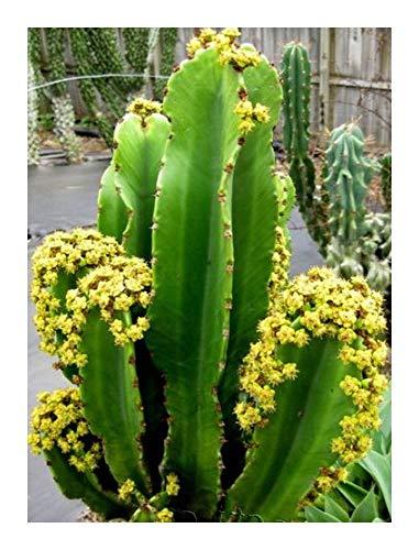 Euphorbia ingens - Riesen-Wolfsmilch - 5 Samen (Wolfsmilch Samen)