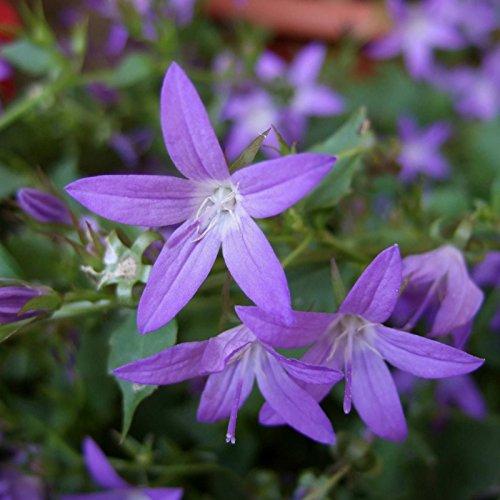 Polsterglockenblume Immergrüne Pflanze