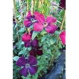 Clematis Clematis viticella ' Real Terciopelo' planta trepadora 100cm OLLA gewachsen ITALIANOS VARIEDAD CON ROJO Belleza floral - Rojo, 60-100cm