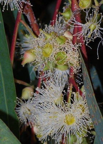 tropica-river-red-gum-eucalyptus-camaldulensis-200-seeds-australia