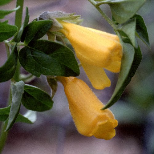 Flame Vine (Plant World Seeds - Eccremocarpus Scaber Flame Colours Seeds)