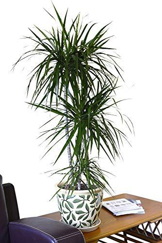 dracena marginata, specie nativa del madagascar, popolare pianta da interno, per casa o ufficio, altezza circa 90cm