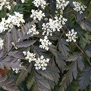 Plant World Seeds - Anthriscus Sylvestris 'Ravenswing' Seeds