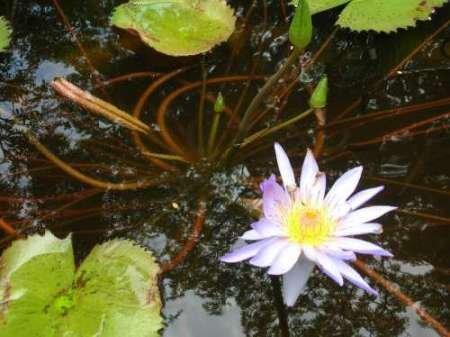 feelingathomeit-stampa-su-tela-100-cotone-intelaiata-violet-water-lily-iii-cm-28x38-dimensioni-perso