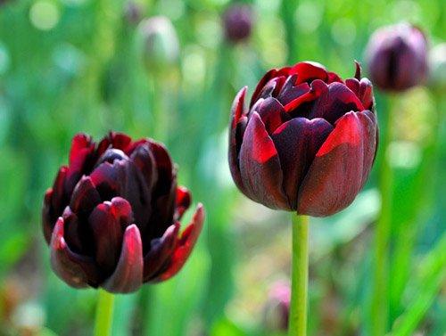 Toutes sortes de bulbes de tulipes belles fleurs de jardin sont appropriés pour les plantes en pot (il n'est pas une graine de tulipe) bulbes 2PC 17