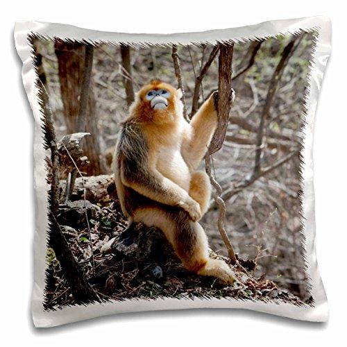 Danita Delimont - Monkeys - China, Qinling Mountains, Male Golden Monkey - AS07 AGA0024 - Alice Garland - 16x16 inch Pillow Case (pc_132366_1)
