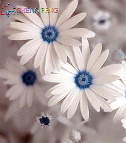 50-color-de-la-mezcla-de-la-margarita-hardy-plantas-semillas-crisantemo-flor-exotica-flores-ornament