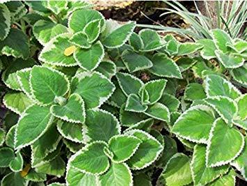 CUSHY Cuban Oregano, (3 Live Pflanze,) Indischer Borretsch, Mexikanische Minze, Thymian Spanisch (Mexikanischer Oregano Pflanze)