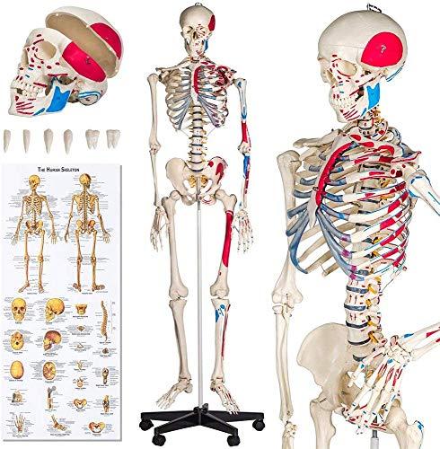 BD.Y Gute Qualität Menschliches Skelett Anatomisches Modell Lebensgröße - Verschiedene Modelle - (Menschliches Skelett mit Muskeln Malen | Nr. 401755)