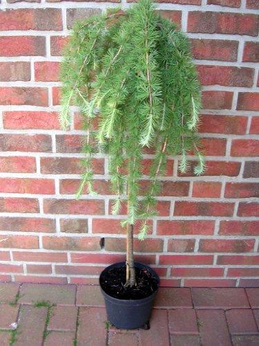 Lärchen-Stamm, Höhe: 120 cm, grüne-bläuliche Nadeln, Larix decidua Puli + Dünger