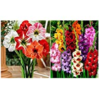 Kraft Seeds Gate Garden Gladiolus Flower Bulbs (Multicolor, Pack of 15)&Kraft Seeds Amaryllis Lilly Flower Bulbs (2 Bulbs)