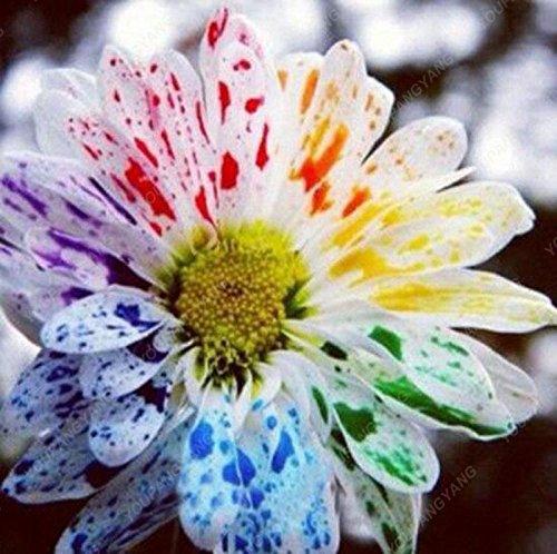 100 PCS / SAC graines de fleurs aster aster graines de fleurs arc-en-bonsaïs graines de chrysanthèmes fleurs vivaces plantes potagères grand bleu ciel